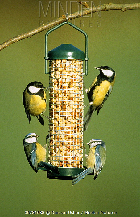 Great Tit (Parus major) pair and Blue Tits (Cyanistes caeruleus) at feeder, Europe  -  Duncan Usher