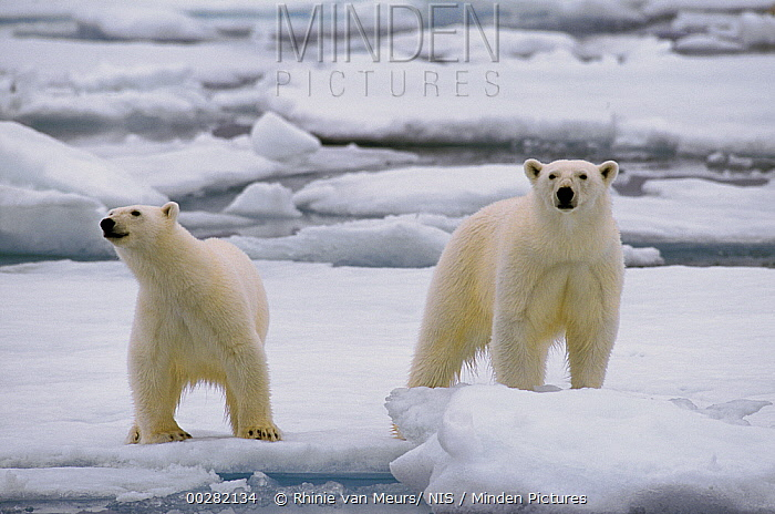 Polar Bear (Ursus maritimus) pair on ice, Spitsbergen  -  Rhinie van Meurs/ NIS