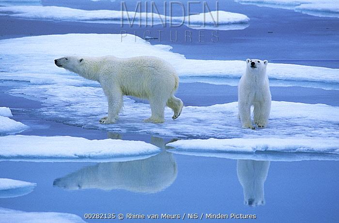 Polar Bear (Ursus maritimus) pair on ice with reflection, Spitsbergen  -  Rhinie van Meurs/ NIS
