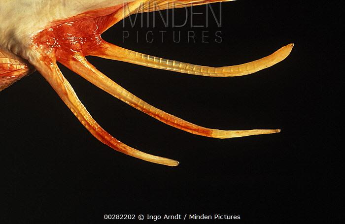 Tub Gurnard (Chelidonichthys lucerna) close up detail of fin  -  Ingo Arndt