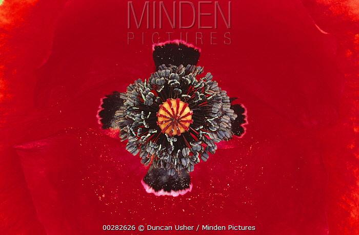 Red Poppy (Papaver rhoeas) close up of pistil and stamen, Europe  -  Duncan Usher