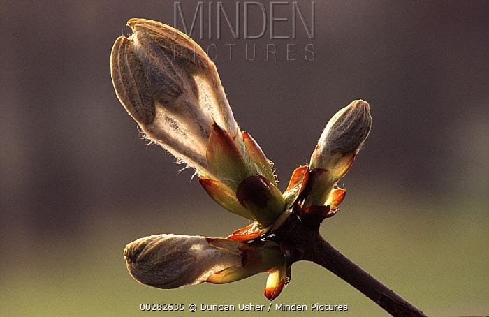 Horse Chestnut (Aesculus hippocastanum) close up of new leaves budding, Europe  -  Duncan Usher