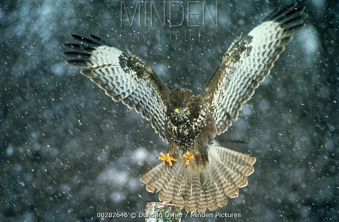 Common Buzzard (Buteo buteo) landing on post, winter, Europe  -  Duncan Usher