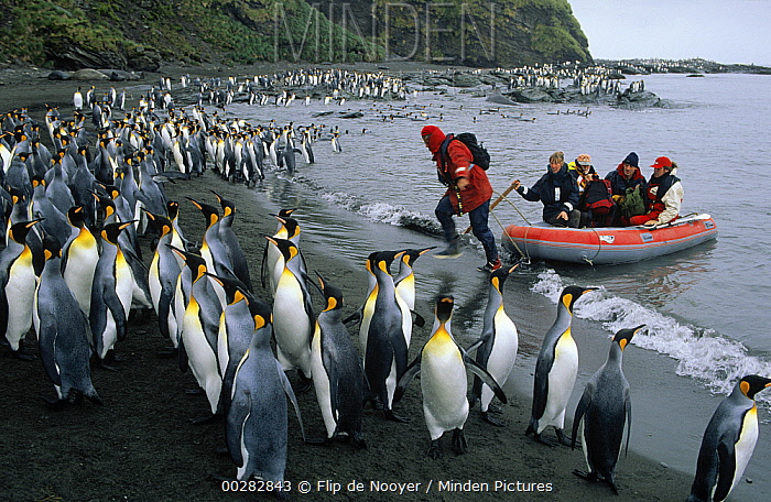 King Penguin (Aptenodytes patagonicus) colony with tourists coming ashore in zodiac, St Andrews Bay, South Georgia Island  -  Flip de Nooyer