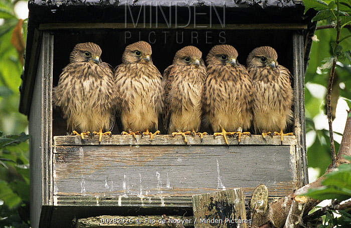 Eurasian Kestrel (Falco tinnunculus) group of five juveniles in nesting box, Europe  -  Flip de Nooyer