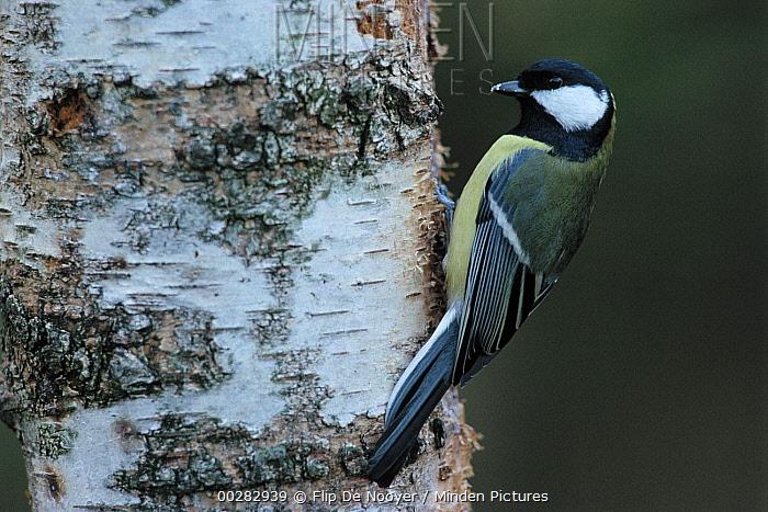 Great Tit (Parus major) adult on tree trunk, Europe  -  Flip de Nooyer