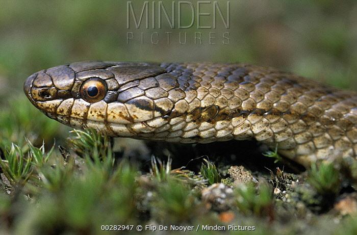 Smooth Snake (Coronella austriaca) portrait, rare in the United Kingdom  -  Flip de Nooyer