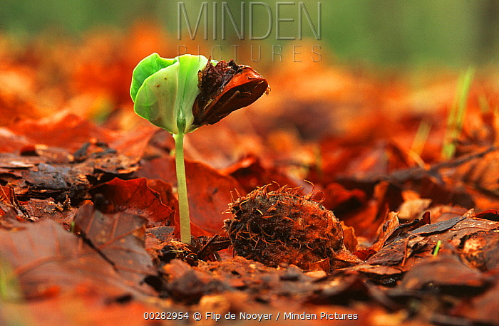 European Beech (Fagus sylvatica) seedling sprouting from forest floor, Europe  -  Flip de Nooyer