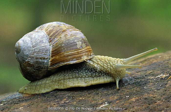 Edible Snail (Helix pomatia) on log, Europe  -  Flip de Nooyer