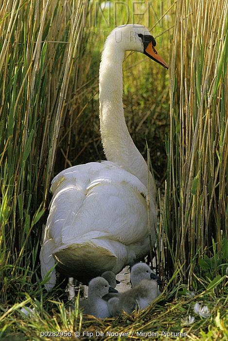 Mute Swan (Cygnus olor) parent on nest with cygnets, Europe  -  Flip de Nooyer