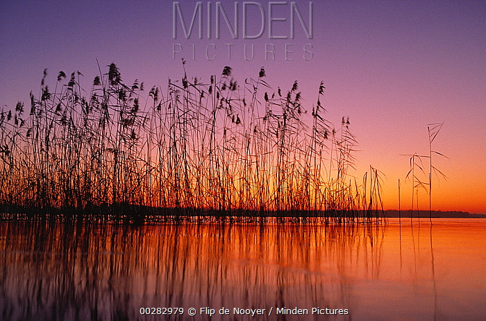 Reeds silhouetted at sunset in wetland, Netherlands  -  Flip de Nooyer