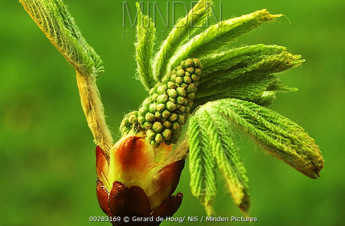 Horse Chestnut (Aesculus hippocastanum) close up of new leaves budding along with flower panicle, Europe  -  Gerard de Hoog/ NiS