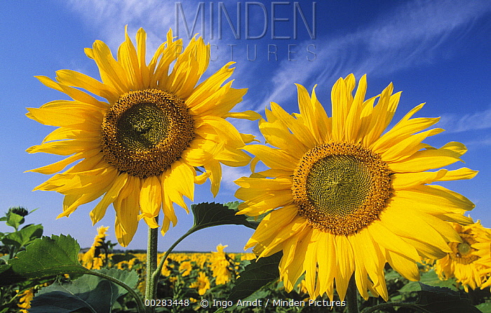 Common Sunflower (Helianthus annuus) two large, bright yellow flowers in a field of Common Sunflowers, Europe  -  Ingo Arndt