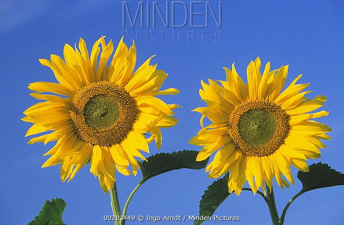 Common Sunflower (Helianthus annuus) pair of flowers against blue sky, Europe  -  Ingo Arndt