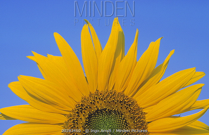 Common Sunflower (Helianthus annuus) close up of flower against blue sky, Europe  -  Ingo Arndt