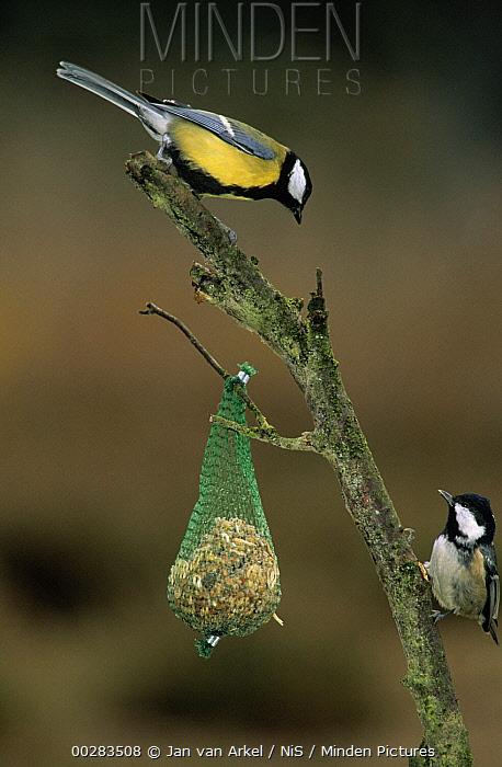 Coal Tit (Periparus ater) and Great Tit (Parus major) on branch with Suet Birdfeeder, Europe  -  Jan van Arkel/ NiS