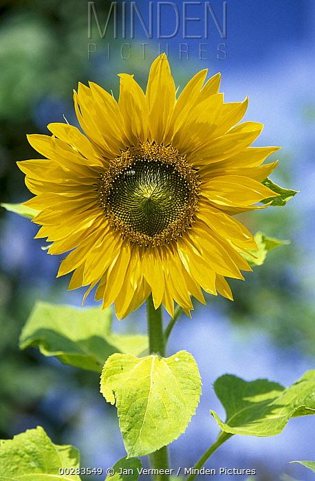 Common Sunflower (Helianthus annuus), North America and Europe  -  Jan Vermeer