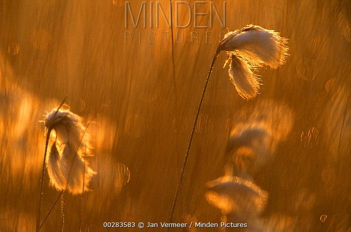 Hare's-tail Cottongrass or Sheathed Cottonsedge (Eriophorum vaginatum) in evening light, circumboreal species  -  Jan Vermeer