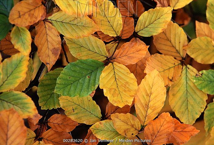 European Beech (Fagus sylvatica) colorful fall leaves, Europe  -  Jan Vermeer
