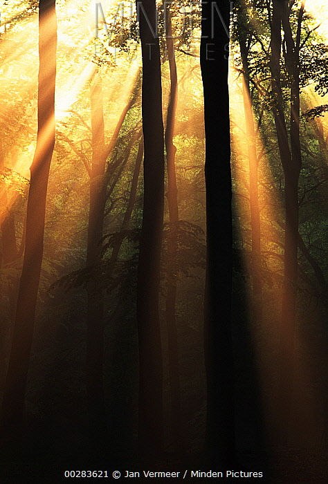 European Beech (Fagus sylvatica) forest with sunrays streaming through trees in early morning, Europe  -  Jan Vermeer