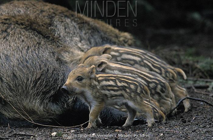 Wild Boar (Sus scrofa) sow nursing piglets, Europe  -  Jan Vermeer