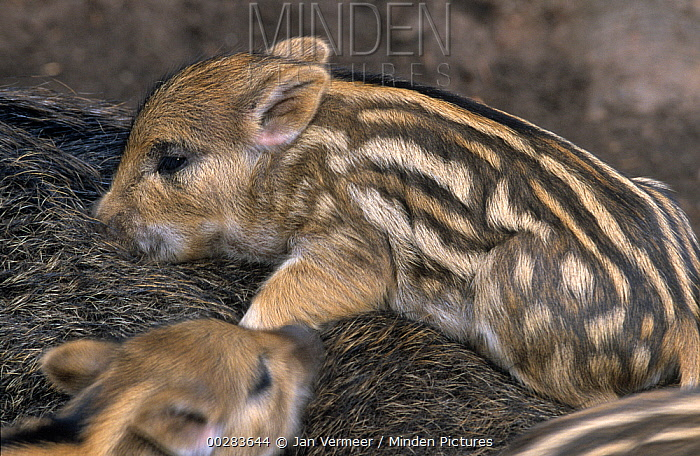 Wild Boar (Sus scrofa) piglets snuggled and sleeping on sow  -  Jan Vermeer
