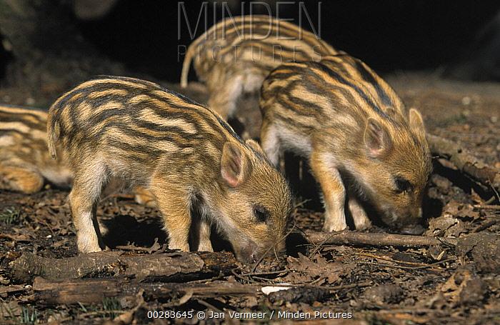 Wild Boar (Sus scrofa) piglets rooting which can destroy habitat  -  Jan Vermeer