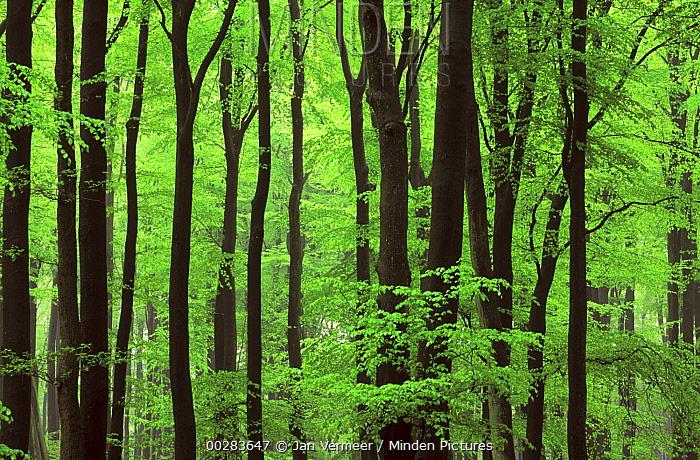European Beech (Fagus sylvatica) forest in spring, Europe  -  Jan Vermeer