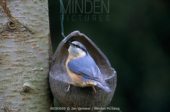 Wood Nuthatch (Sitta europaea) at feeder, Europe  -  Jan Vermeer