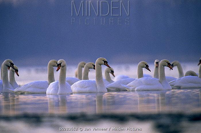 Mute Swan (Cygnus olor) flock in water  -  Jan Vermeer