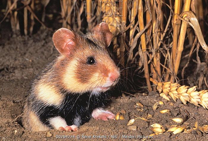 Common Hamster (Cricetus cricetus) at burrow with grain  -  Rene Krekels/ NIS