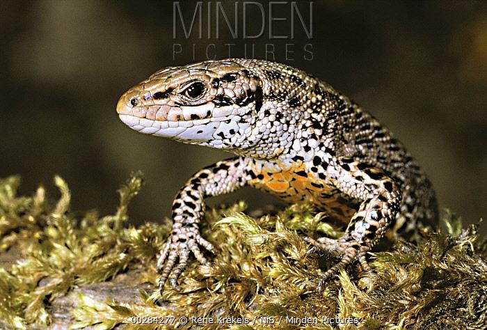 Viviparous Lizard (Zootoca vivipara) male  -  Rene Krekels/ NIS