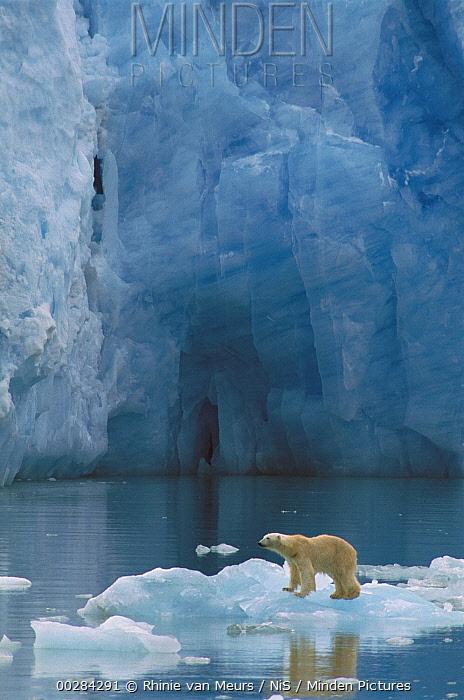 Polar Bear (Ursus maritimus) on ice flow, Canada  -  Rhinie van Meurs/ NIS
