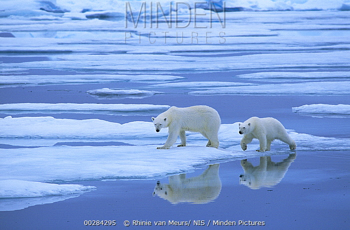 Polar Bear (Ursus maritimus) pair walking on melting ice, Canada  -  Rhinie van Meurs/ NIS