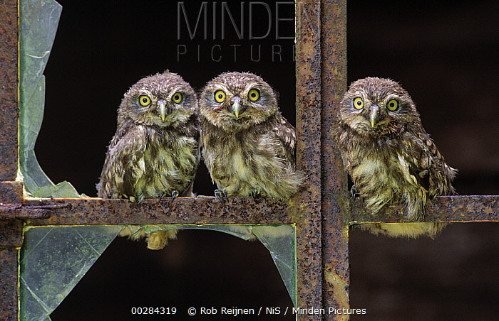 Little Owl (Athene noctua) three owlets in old barn window, Europe  -  Rob Reijnen / NiS