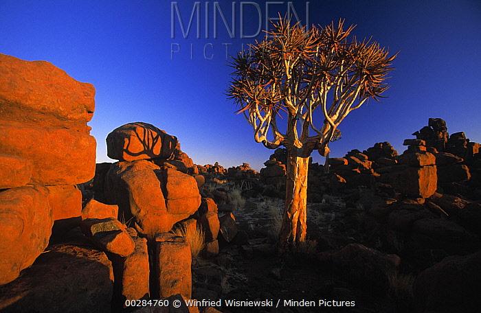 Quiver Tree (Aloe dichotoma) in evening  -  Winfried Wisniewski