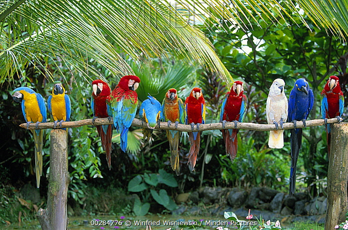 Parrot (Psittacidae) group including Hyacinth, Red and Green, Scarlet, and Yellow and Blue Macaws on perch, native to South America  -  Winfried Wisniewski
