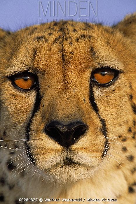 Cheetah (Acinonyx jubatus) close up of face showing 'tear mark' pattern, Africa  -  Winfried Wisniewski