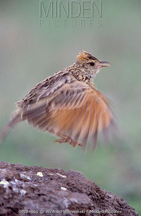 Rufous-naped Lark (Mirafra africana) landing on rock, Africa  -  Winfried Wisniewski