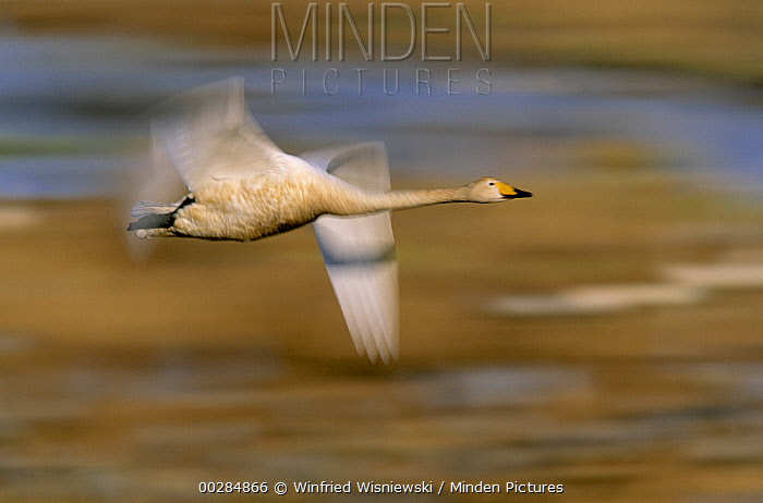 Whooper Swan (Cygnus cygnus) flying, ranges in the palearctic, winters to Indian and southeastern China  -  Winfried Wisniewski