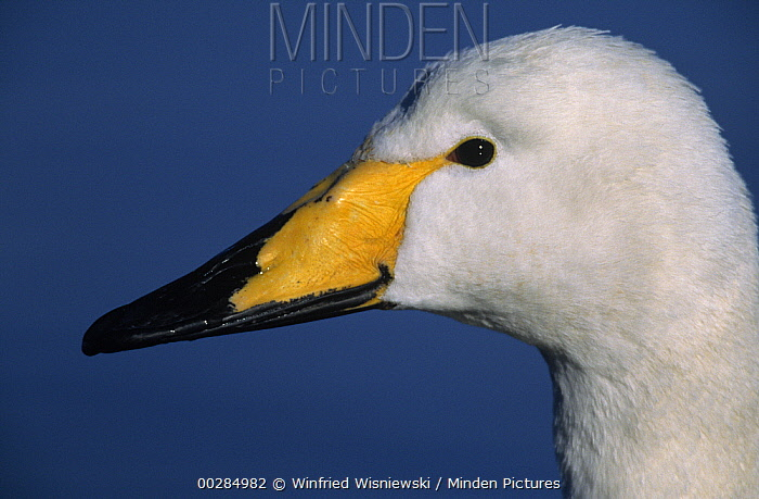 Whooper Swan (Cygnus cygnus) close up of head, Japan  -  Winfried Wisniewski