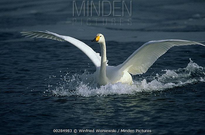 Whooper Swan (Cygnus cygnus) landing in water, Japan  -  Winfried Wisniewski