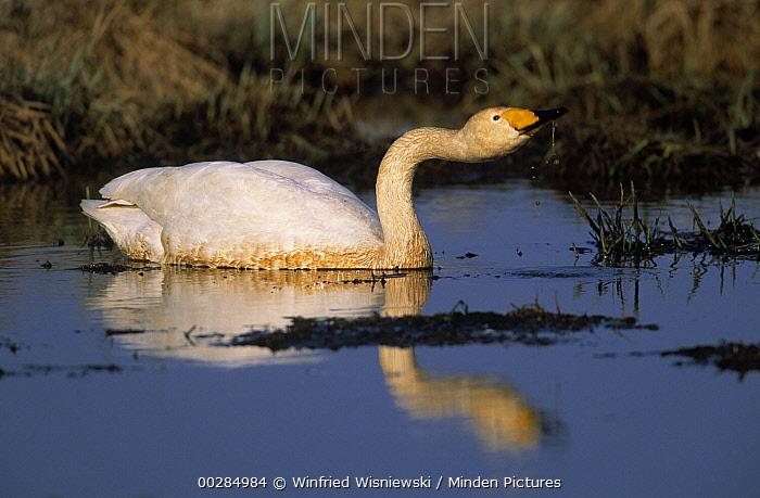 Whooper Swan (Cygnus cygnus) foraging in lake, Japan  -  Winfried Wisniewski