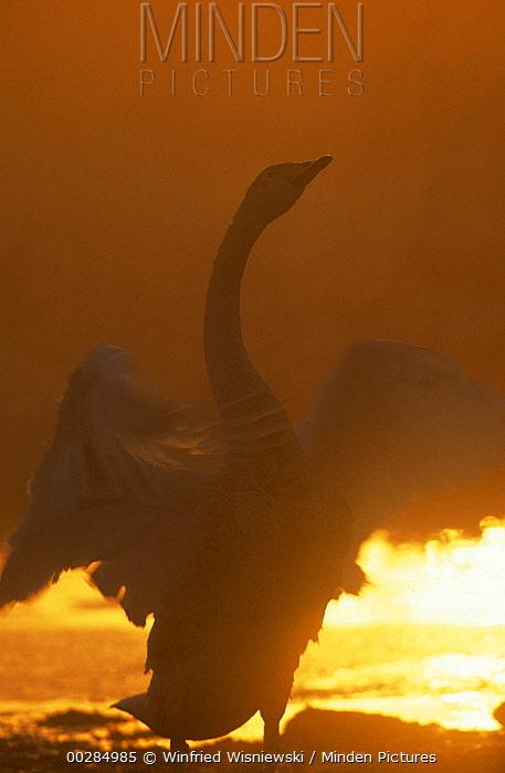 Whooper Swan (Cygnus cygnus) stretching at sunset, Japan  -  Winfried Wisniewski