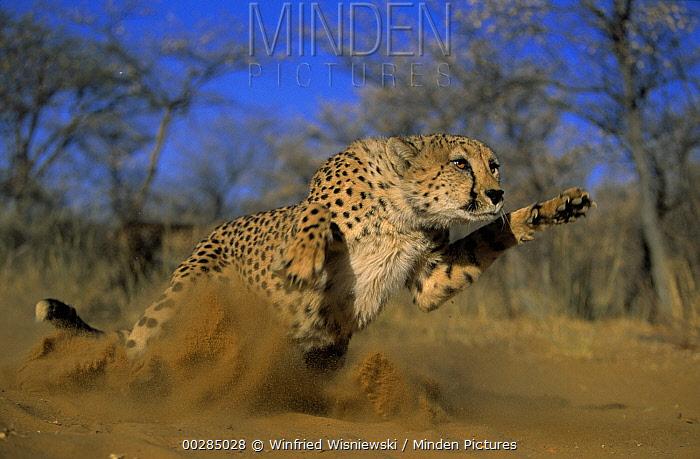 Cheetah (Acinonyx jubatus) pouncing, Africa  -  Winfried Wisniewski
