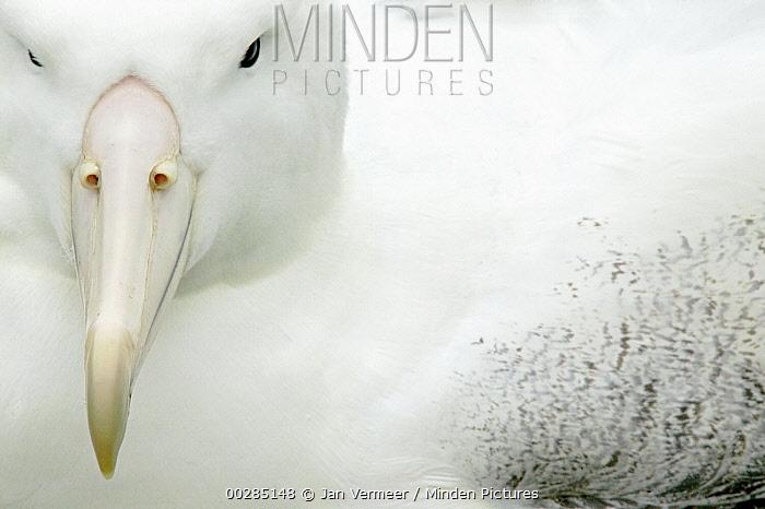 Southern Royal Albatross (Diomedea epomophora), Campbell Island, Antarctica  -  Jan Vermeer