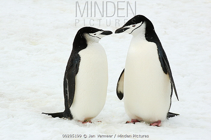 Chinstrap Penguin (Pygoscelis antarctica) pair courting, Southern Thule, South Sandwich Islands, Antarctica  -  Jan Vermeer