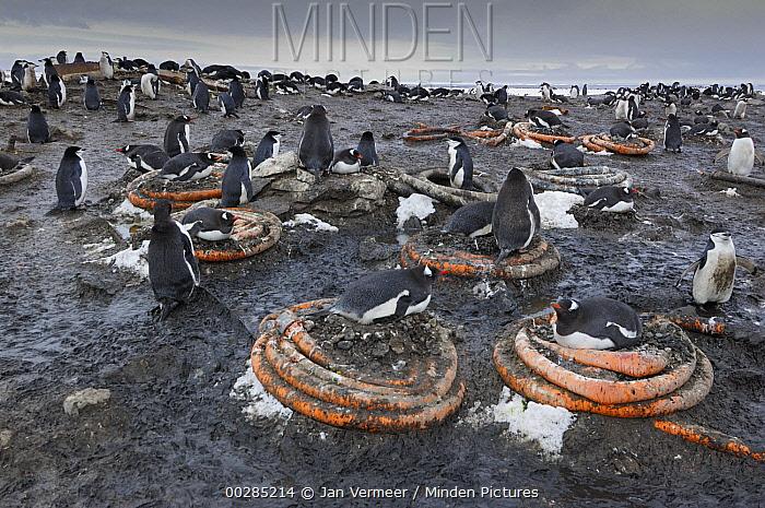 Chinstrap Penguin (Pygoscelis antarctica) colony nesting on used hoses, Antarctica  -  Jan Vermeer