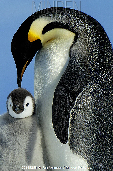 Emperor Penguin (Aptenodytes forsteri) parent with chick, Antarctica  -  Jan Vermeer