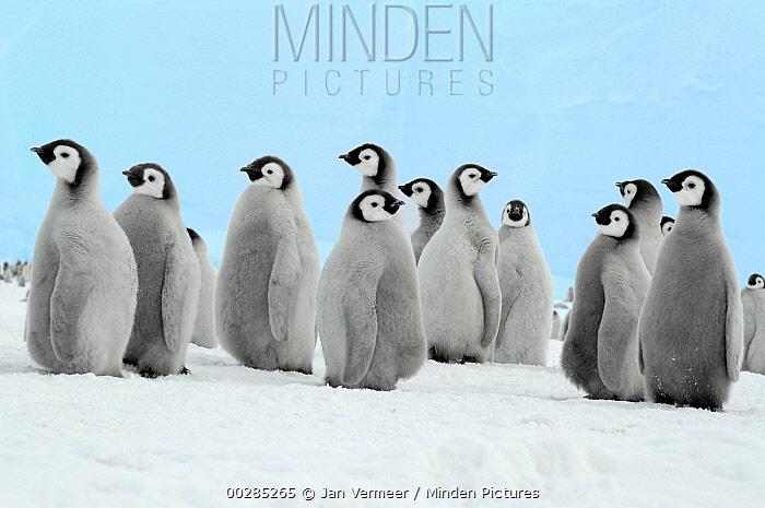 Emperor Penguin (Aptenodytes forsteri) chicks, Antarctica  -  Jan Vermeer